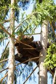 Bear Cub — Foto Stock