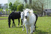 Horses in meadow. — Stock Photo