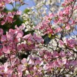 Spring Blossoms - panorama format, ideal for large displays and billboards — Stock Photo