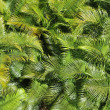 Blanket of tropical palm tree leaves under the sun - natural photo texture — Stock Photo