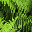 Backdrop of lush green forest ferns — Stock Photo