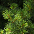 Lush green pine tree in the sun — Stock Photo