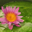 A beautiful blooming pink pond lily — Stock Photo