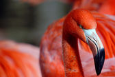 Close-up of a pink flamingo staring sideways at the observer — Stock Photo