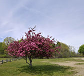 Blooming tree with pink blossoms in a lush green field in late spring — Stockfoto