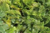 Couverture d'un palmier tropical laisse sous le soleil - texture photo naturel — Photo