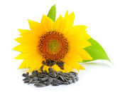 Yellow sunflower and sunflower seeds on a white background — Stock Photo