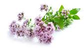 Blossoming oregano (Origanum vulgare) on a white background — Stock Photo