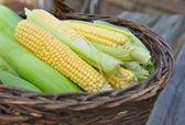 Fresh corn cobs in a basket — Stock Photo