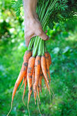 Bunch of carrots in a hands with soft background — Stockfoto