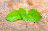 Green lemon balm (Melissa officinalis) on a wooden background — Stock fotografie