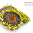Autumn sunflowers with ripe seeds on white background - Stock Photo