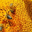 Bees on sunflower. Close-up view - Stock Photo