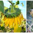 Blooming sunflower flower, three stages of life — Stock Photo #13878876