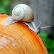Stock Photo: Garden snail (Helix pomatia)