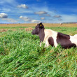 Cow is on a pasture - Stock Photo
