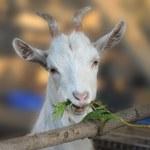 Goat chews a branch — Stock Photo