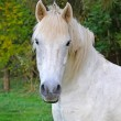 Portrait of a white horse in summer day - Stock Photo