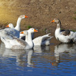 Geese on water - Stock Photo
