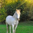 White horse is on a pasture - Stock Photo