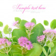 Beautiful autumn pink flower (Sedum spectabile) on white background — Stock Photo