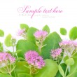 Beautiful autumn pink flower (Sedum spectabile) on white background - Stock Photo