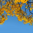 Yellow autumn leaves on a maple tree against bright blue sky — Stock Photo