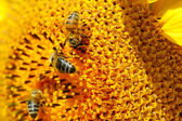 Bijen op zonnebloem. close-up weergave — Stockfoto