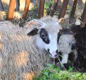 Sheep chews a grass — Stock Photo