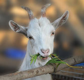 Goat chews a branch — Stock Photo