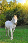 White horse is on a pasture — Стоковое фото