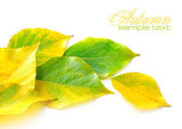 Autumn leaves on white background with sample text — Stockfoto