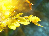 Autumn leaves are in sunbeams — Stock Photo