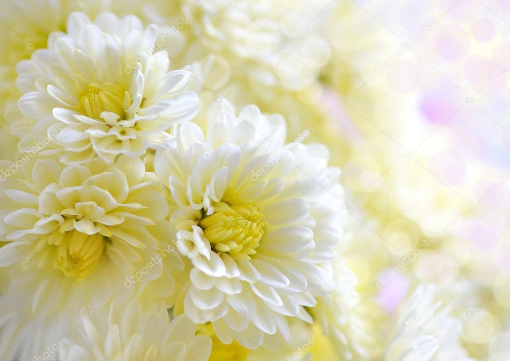 Flowers of white chrysanthemum under the sun light, with beautiful bokeh — Stock Photo #13879124