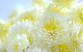 Floral background of white chrysanthemum — Stock Photo
