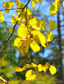 Beech autumn leaves in sunbeams — Stockfoto