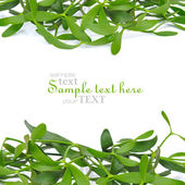 Branches of mistletoe (Viscum album) are on a white background — Stock Photo