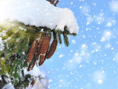 Cones on christmas fir branch and blue sky — Stock Photo