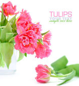 Flowers of tulips on a white background — Stock Photo