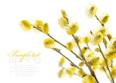 Yellow pussy willow branches on a white background — Stock Photo