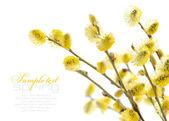 Ramas de sauce amarillo sobre un fondo blanco — Foto de Stock