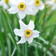 Stock Photo: Narcissus flowers (Narcissus angustifolius)