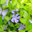 Periwinkle flowers in the garden (Vinca minor) — Stock Photo