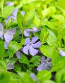 Periwinkle flowers in the garden (Vinca minor) — Stock Photo