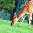 Bongo antelope — Stock Photo
