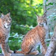 There are young lynx in forest — Stock Photo