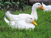 White ducks on a green grass — Stock Photo