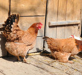 A hen is near a chicken coop — Stock Photo