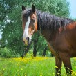 Horse on a pasture — Stock Photo