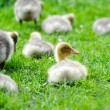 Goslings are on a green grass — Stock Photo #27000509